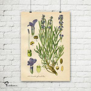 vintage poster 20 x 30 cm oud reproductie botanical botanicals posters het noteboompje lavendel lavendula