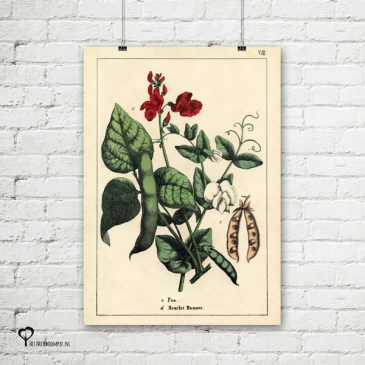 vintage poster 20 x 30 cm oud reproductie botanical botanicals posters het noteboompje pronkboon pronk boon scarlet runner